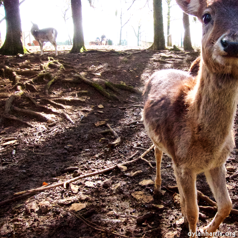 an inquisitive doe