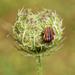 image: striped beetle