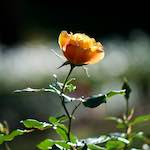 a rose against a blurred white line of sparkles